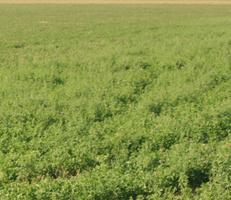 """Foto """"Farbfeld #3"""" von Zuckerwein Fotografie. Das Werk zeigt den einen Ausschnitt eines Ackers mit Pflanzen im Hochsommer, in Fahrt aufgenommen. Mehr siehe http://zuckerwein.com/"""